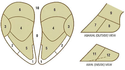 Hoof Trimming Claw Hoof Zones