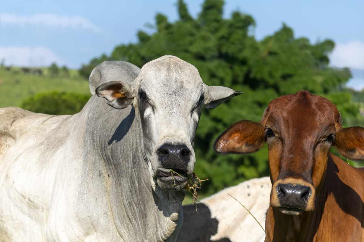 DairySmid Hoof Trimming Focus on hoof care part 1