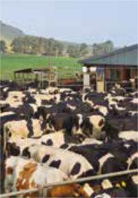 DairySmid Hoof Trimming Cows in pen