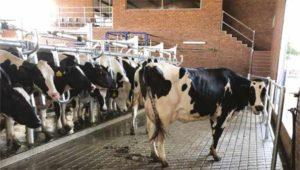 DairySmid Hoof Trimming Concrete Reasons for Lameness – Part 6