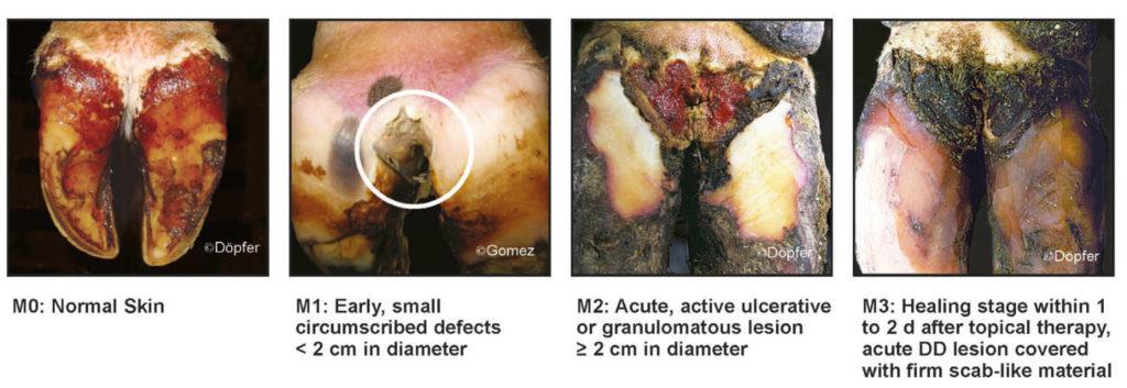 Digital Dermatitis Part 7