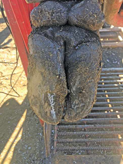 Hoof Triming DairySmid Basics of hoof health management in cattle Corkscrew is a common problem in beef cattle